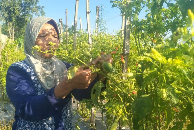 SUMRINGAH: Salah satu petani cabai tengah memanen cabai. Tingginya harga cabai menjadikan petani meraup untung melimpah.