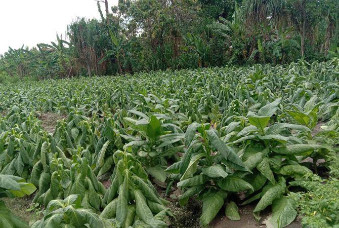 GAGAL PANEN: Salah satu petani tembakau di Dusun Kambingan, Desa Pengampon, Kecamatan Kabuh sawahnya terendam kemarin.