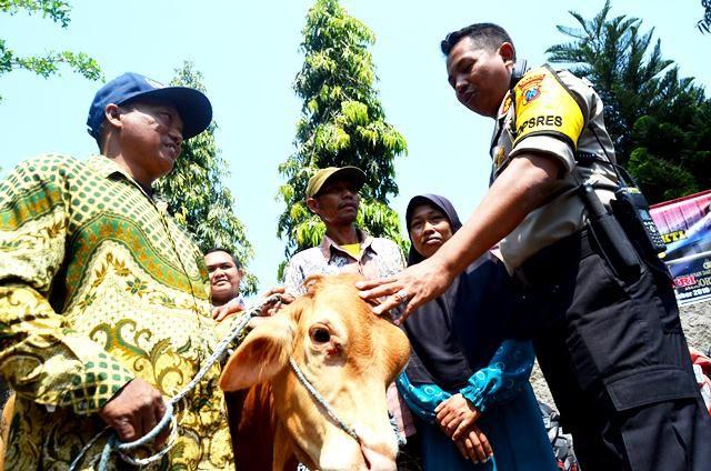 pencurian sapi