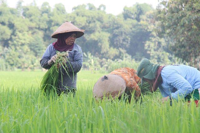 MUSIM TANAM PERTAMA: Sejumlah pekerja membersihkan gulma pada tanaman padi di Desa Babadan, Pace.