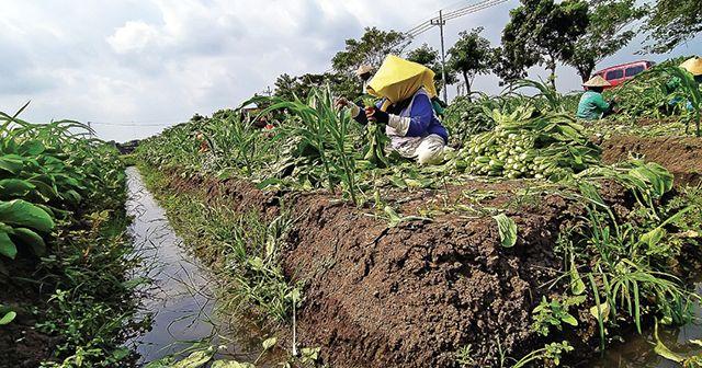 HIJAU: Para pemborong mengikat daun-daun sawi usai memanen di lahan milik Hendro Kartiko di Desa Sekoto, Kecamatan Badas kemarin.