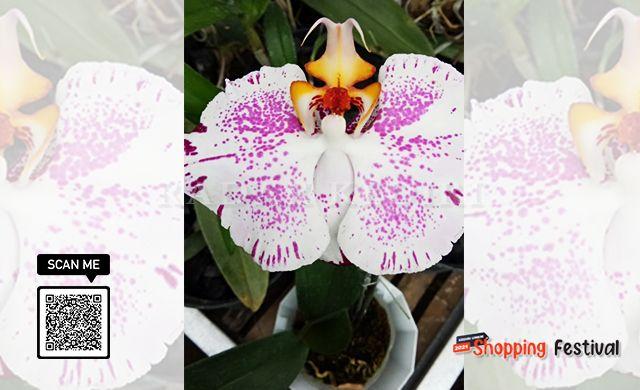Keindahan Anggrek Sheila Orchid