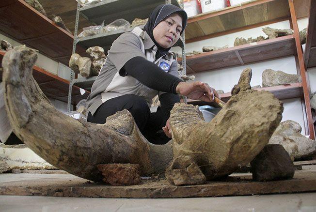 BERSIHKAN KOLEKSI: Petugas Museum Pati Ayam terlihat sedang membersihkan koleksi yang berada di Museum Patiayam beberapa waktu lalu.