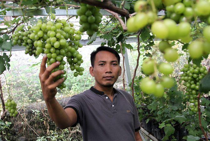 ISTIQAMAH:Samaan merupakan penghobi sekaligus sukses menjadi petani anggur. Sebelum menelateni pertanian anggur ini ia sempat menjadi tukang bangunan.