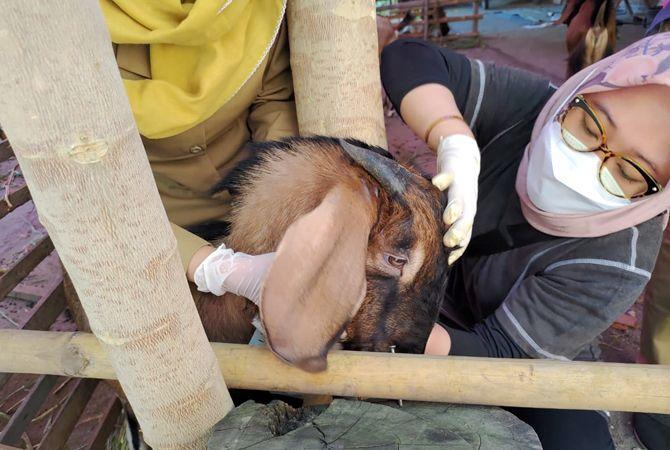 DICEK: Petugas Dinas Peternakan dan Perikanan Grobogan mengecek hewan kurban di pedagang yang mangkal di sekitar Kota Purwodadi kemarin.