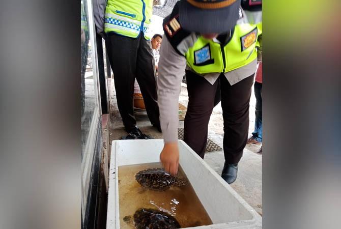 SIDAK: Kapolsek Kota Sumenep AKP Widiarti melihat penyu sisikdi Pasar Anom Baru Sumenep, Kamis (18/1).