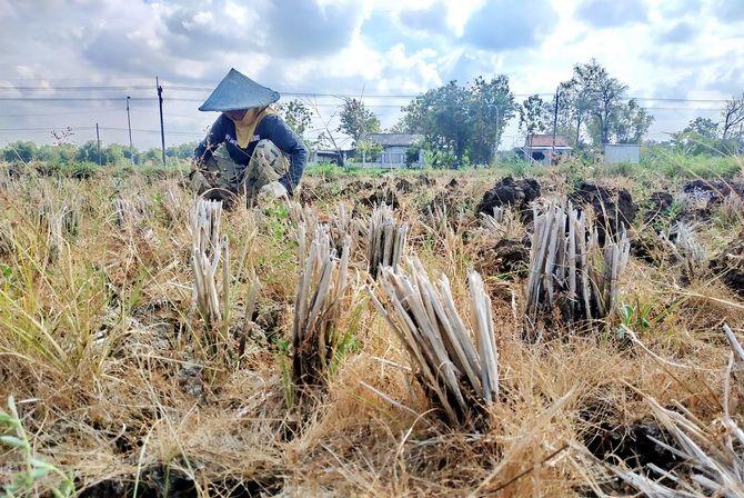 RETAK: Buyama bekerja di sawahnya di Desa Panggung, Kecamatan Sampang, kemarin.