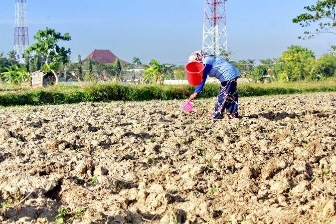 KERJA KERAS: Ibu Nur, warga Kampung Kaseni, Kelurahan Karang Dalem, Kecamatan Sampang, menyiram tembakau, Kamis (25/6).