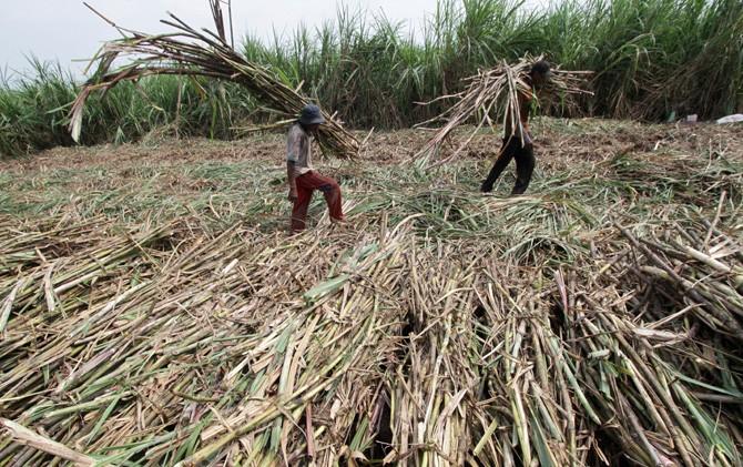 Buruh petani tebu di kawasan Jetis, Mojokerto mengangkut tebu tebang ke atas truk.