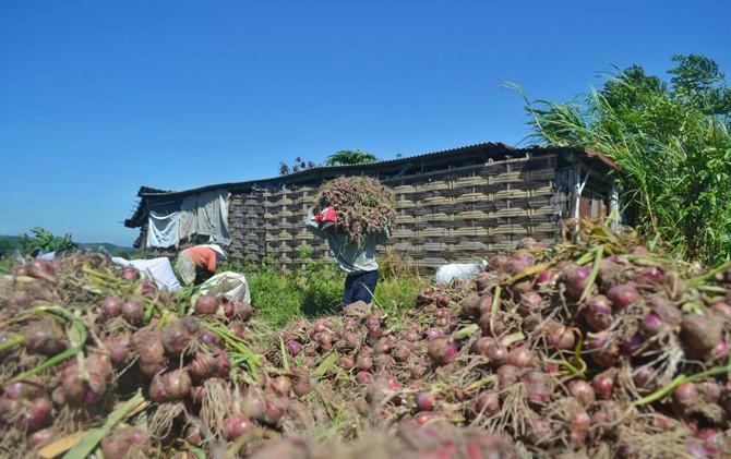 Petani bawang merah di Pacet, Mojokerto saat memanen bawang merah.