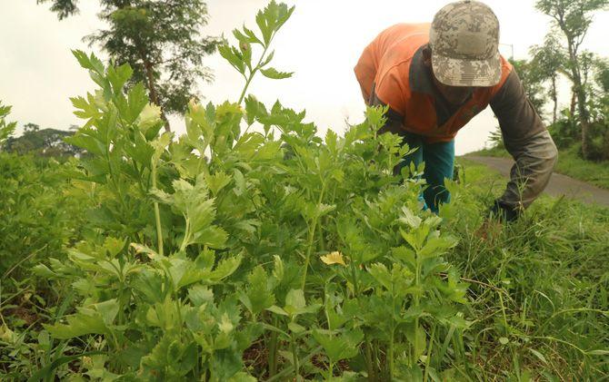 Seorang petani membersihkan rerumputan di areal persawahan daun seledri miliknya di Desa Candiwatu, Kecamatan Pacet, Kabupaten Mojokerto.