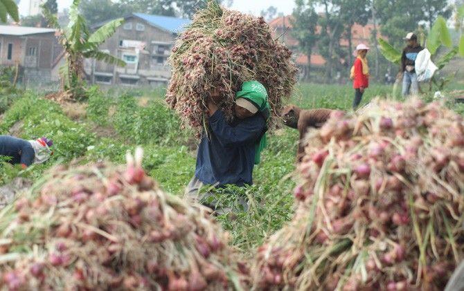 Petani memanen bawang merah di lahan miliknya Dusun Made, Desa/Kecamatan Pacet.