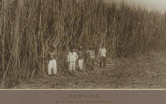 Petani tebu di lahan sewa milik PG Perning, Kecamatan Jetis, sekitar tahun 1926.