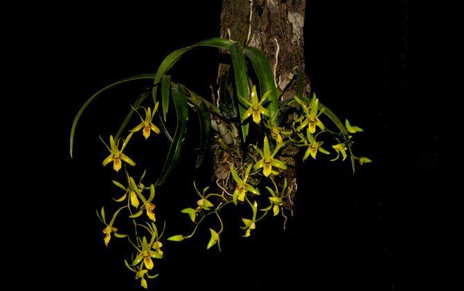 Foto anggrek spesies asli Pulau Jawa karya Asmaraning Arum.