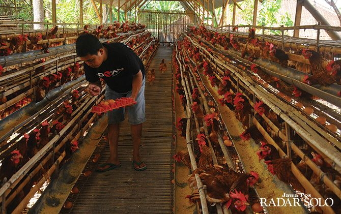 MUSIMAN: Kenaikan harga pakan ternak ayam memicu kenaikan harga jual telur ayam layer di Boyolali sebagai pusat peternakan ayam layer ikut meroket.