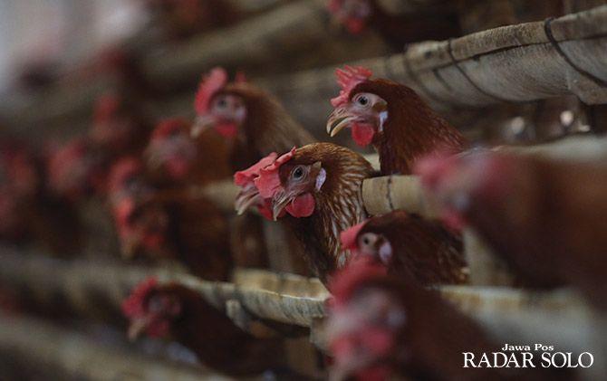 MENGELUH: Ayam-ayam petelur di sebuah kandang yang ada di kawasan Boyolali. Surat edaran mendag terkait penentuan HPP dinilai merugikan para peternak ayam.