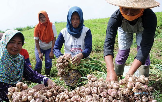 MELIMPAH: Panen bawang putih di Kecamatan Selo, Rabu (13/3).