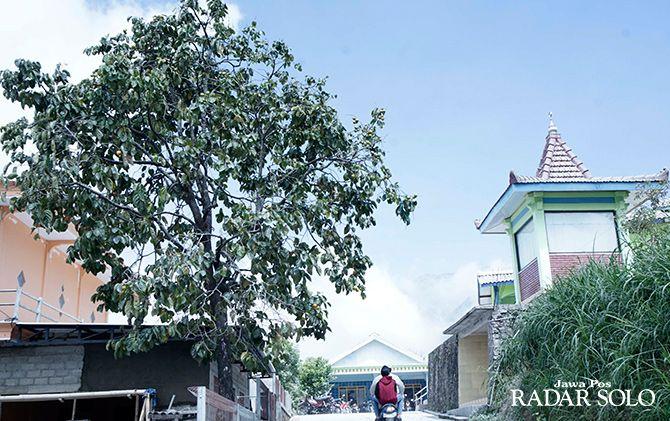 SUBUR: Tanaman buah kesemek di Kecamatan Selo.
