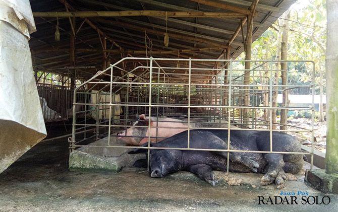 Kandang babi ilegal yang mengganggu warga sekitar bakal ditertibkan