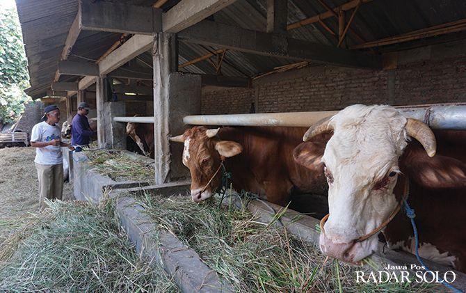 SEHAT: Sapi kurban milik peternak di Desa Kajen, Kecamatan Ceper, Klaten, kemarin (7/8).