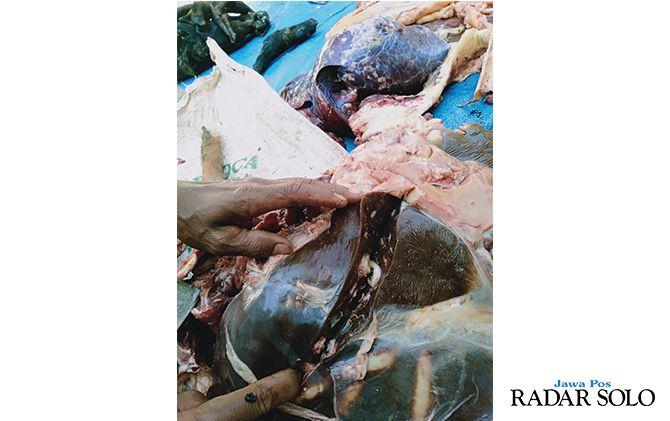 Puluhan Hewan Kurban Terpapar Cacing Hati, Kambing hingga Sapi