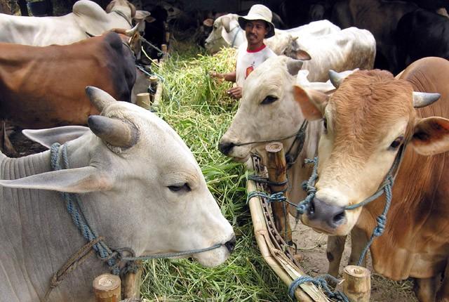 PENGHASIL DAGING SAPI: Peternak sapi perlu mendapat perlindungan agar tidak kena dampak aturan impor daging sapi.