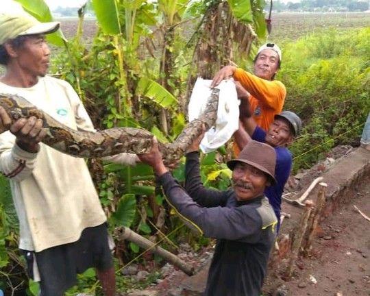 BESAR: Warga mengangkat ular sanca yang ditemukan saat menggali saluran air.