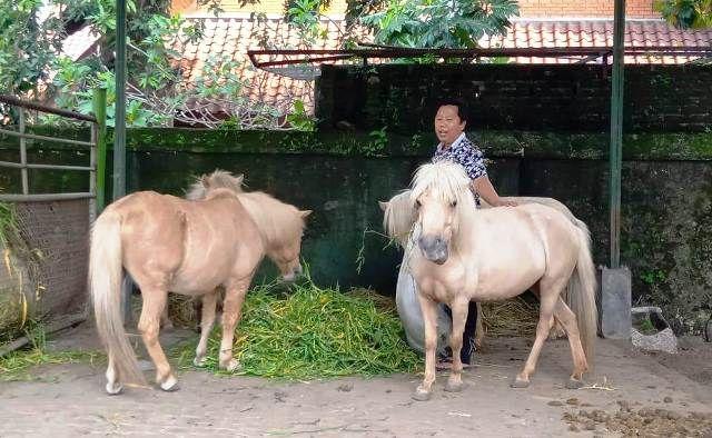 JINAK: Hengki Dwikurniawan saat menemani empat kuda poni di belakang pendopo bupati.