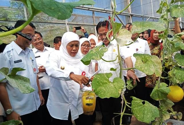 PANEN: Khofifah saat memanen melon di UPT PATPH Sidoarjo.