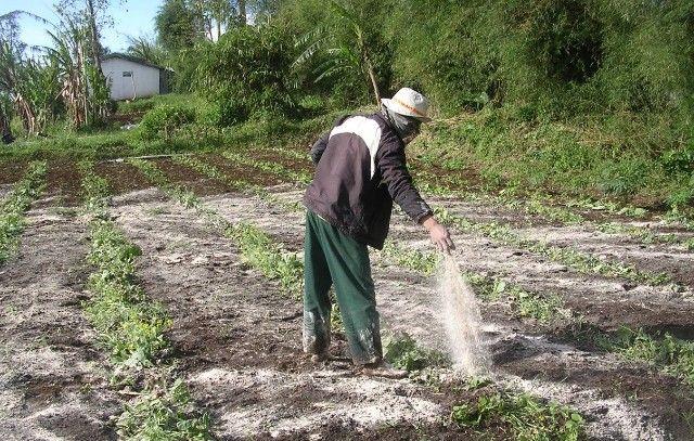 SEBAR: Salah satu petani sedang menyebar pupuk di ladang pertaniannya.