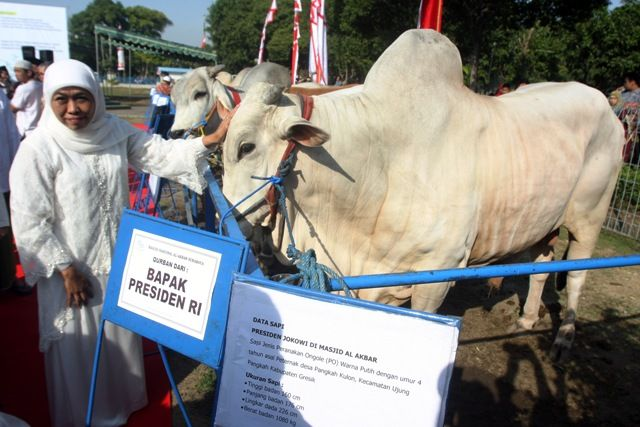 SAPI PRESIDEN: Gubernur Jatim Khofifah Indar Parawansa menyerahkan sapi kurban Presiden Joko Widodo kepada panitia kurban setelah salat Idul Adha di Masjid Nasional Al Akbar, Surabaya, Minggu (11/8).