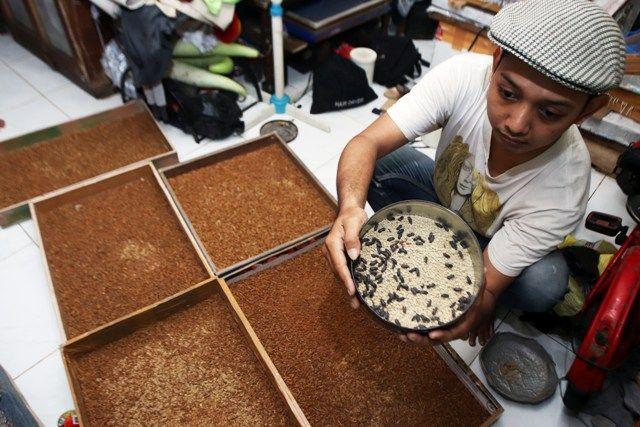KERJA HALAL: Ikhwanudin menunjukkan hasil ternak ulat Hong Kongnya di rumahnya di kawasan Dukuh Kupang Gang L