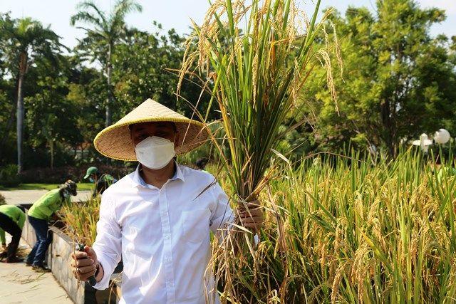 URBAN FARMING: Wali Kota Surabaya Eri Cahyadi memanen padi di lahan halaman Balai Kota Surabaya, kemarin.