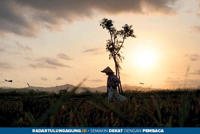 SEMANGAT: Seorang petani terlihat masih berada di sawah meski sudah petang.