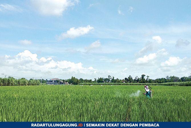 TETAP MENANAM: Seorang petani sedang memberi fungisida ke tanaman padinya. Sebagian petani di Tulungagung sudah mendapatkan kartu tani.