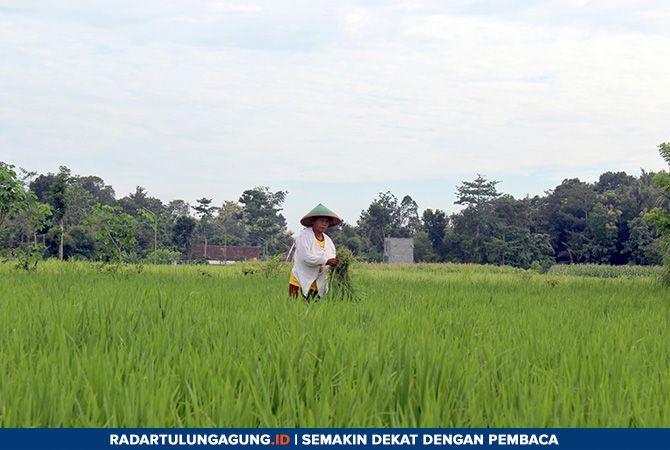 WASPADA: Salah seorang petani sedang membersihkan rumput liar yang ada di area persawahan Desa Papungan, Kanigoro Kamis (14/03).