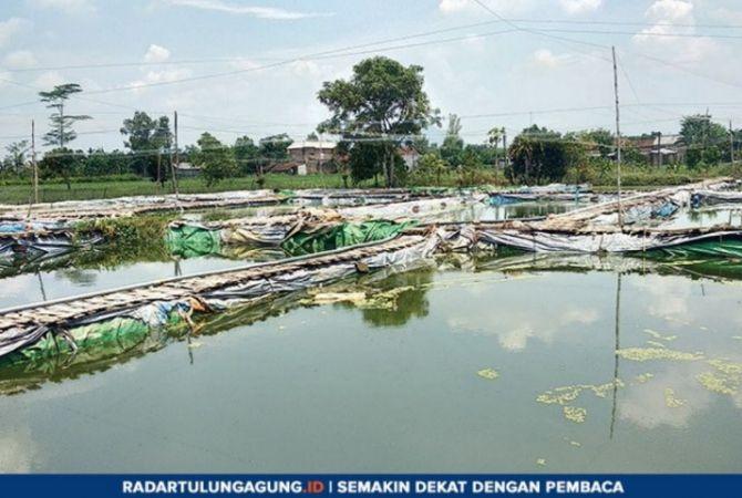 TAK MASUK BENCANA DARURAT: Kolam milik pembudi daya ikan tawar di Dusun Krajan, Desa Waung, Kecamatan Boyolangu.