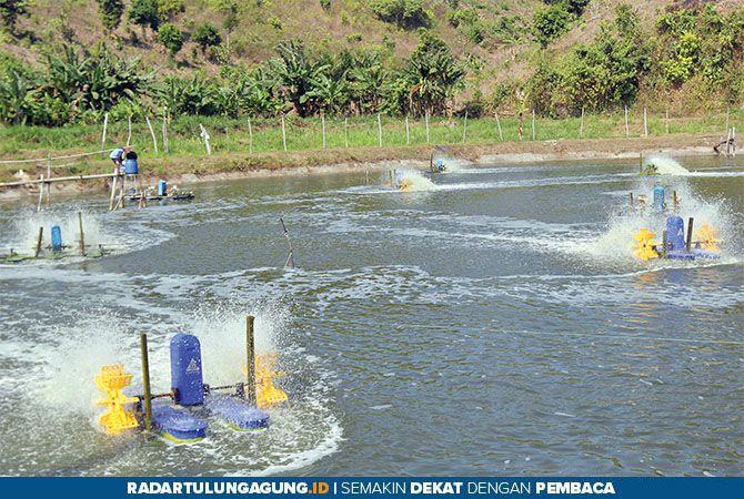TERKENDALA LAHAN: Tambak udang vaname di Desa Serang, Kecamatan Panggungrejo, butuh izin khusus untuk pemakaian lahan.