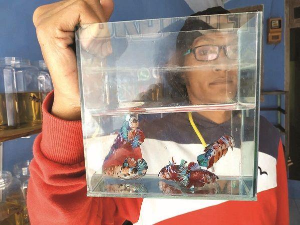 TELATEN: Ego Putra Aritama menunjukkan beberapa ikan cupang mutasi genetik warna miliknya, di rumahnya,  Desa Sidorejo, Kecamatan Kauman, kemarin (8/8)