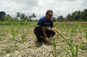 Petani Rugi, Benih Jagung Bantuan Pemerintah tak Mau Tumbuh