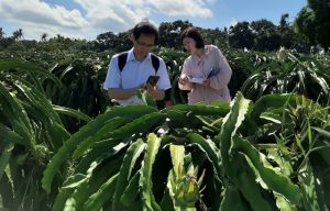 Buah Naga Buleleng Dilirik Cina, Setahun Produksi 700 Ton