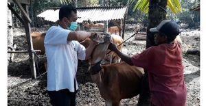 Kesehatan Dicek, Sapi Bali di Jembrana Didata