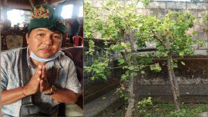 Sanggah Kamulan di Desa Les Wajib Gunakan Pohon Dapdap