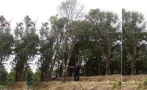 Jamur Akar Putih Serang Cengkih Petani Buleleng