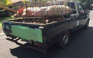 Pastikan Daging Aman Dikonsumsi saat Galungan, Babi Peternak Diperiksa