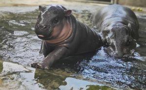 Pertama Kali Lahir Di Bali Safari, Kurang 2 Bulan Sudah Berbobot 15 Kg
