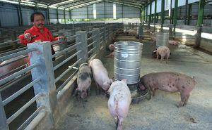Peternak Babi Buleleng Klaim Aman dari Serangan Virus ASF