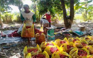 Pandemi, Petani Buleleng Pilih Tanam Cabai, Harga di Pasar Stabil