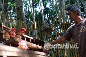Ayam Horn Afkir Mulai Laris Manis