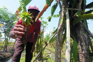 Hama Jamur Serang Tanaman Buah Naga di Sumberagung Megaluh